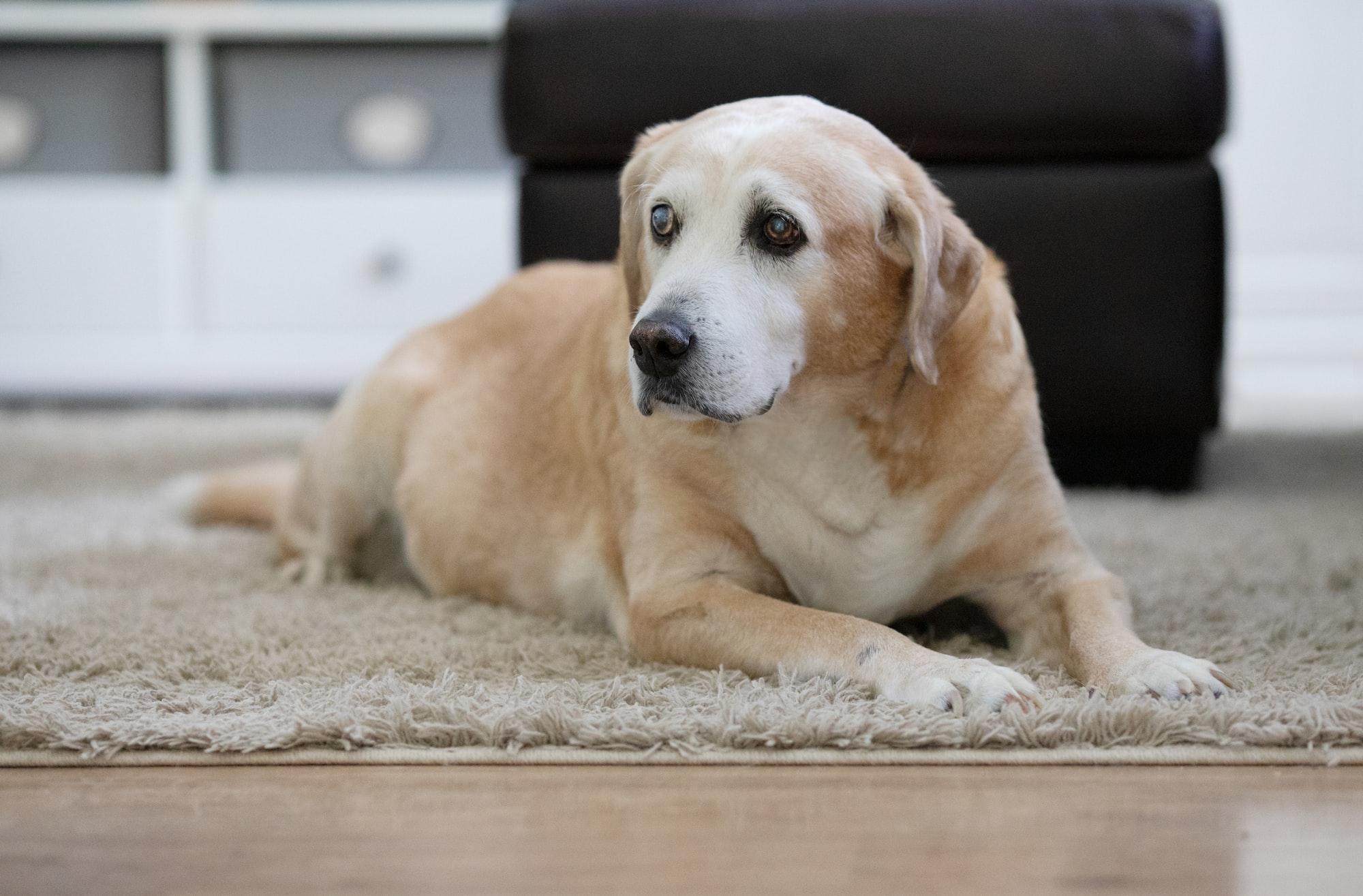 A senior labrador dog sitting in a brightly lit home