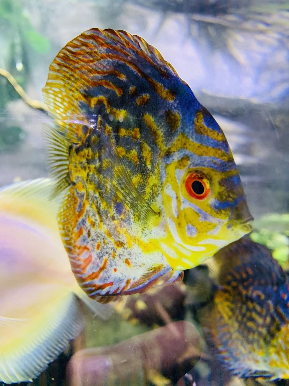 orange and blue fish in fish tank
