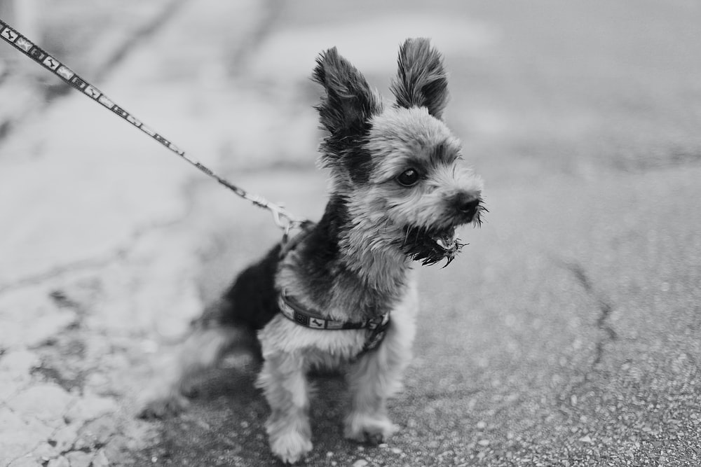 grayscale photo of long coat small dog