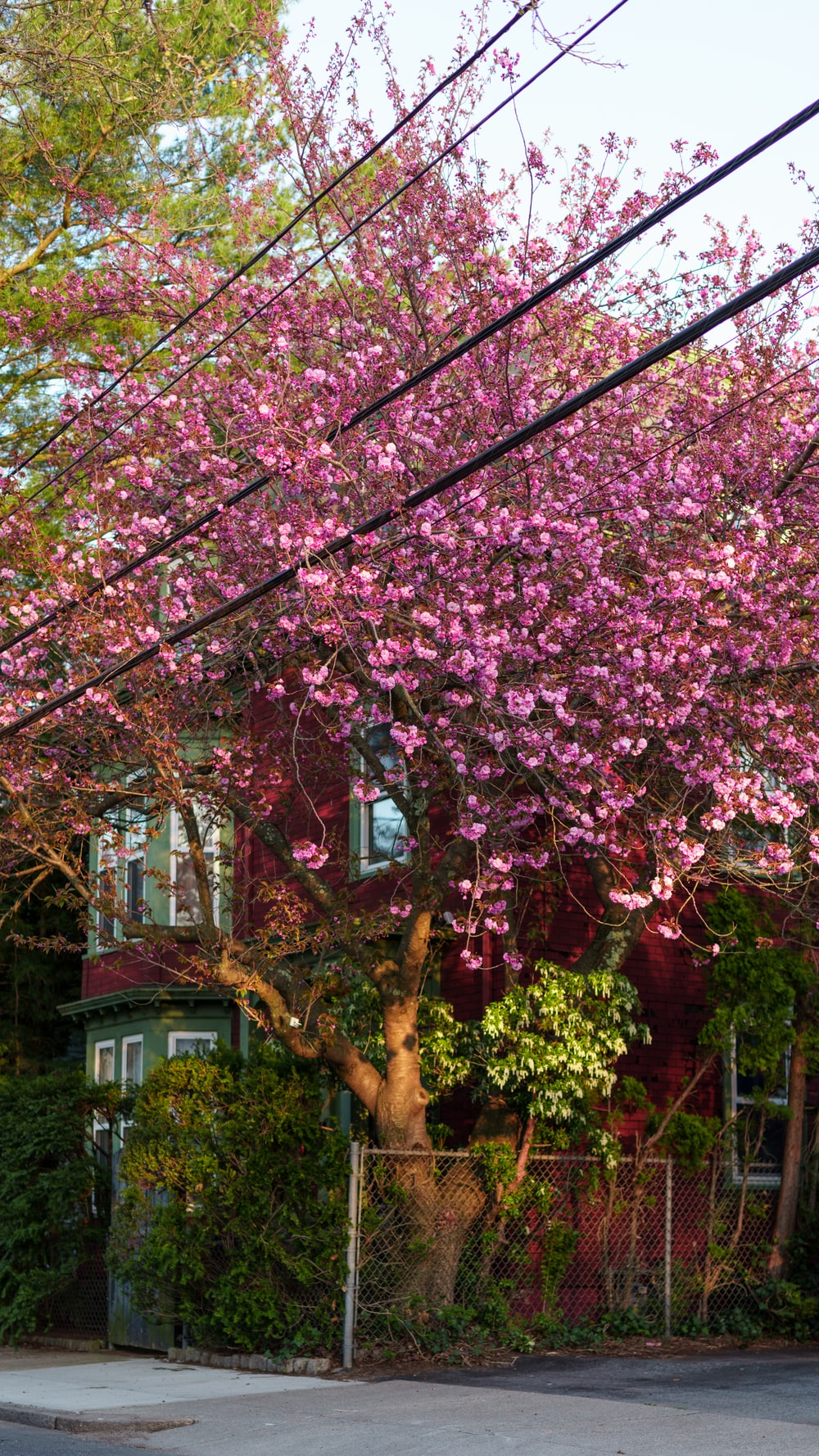 pink cherry blossom tree near white house during daytime