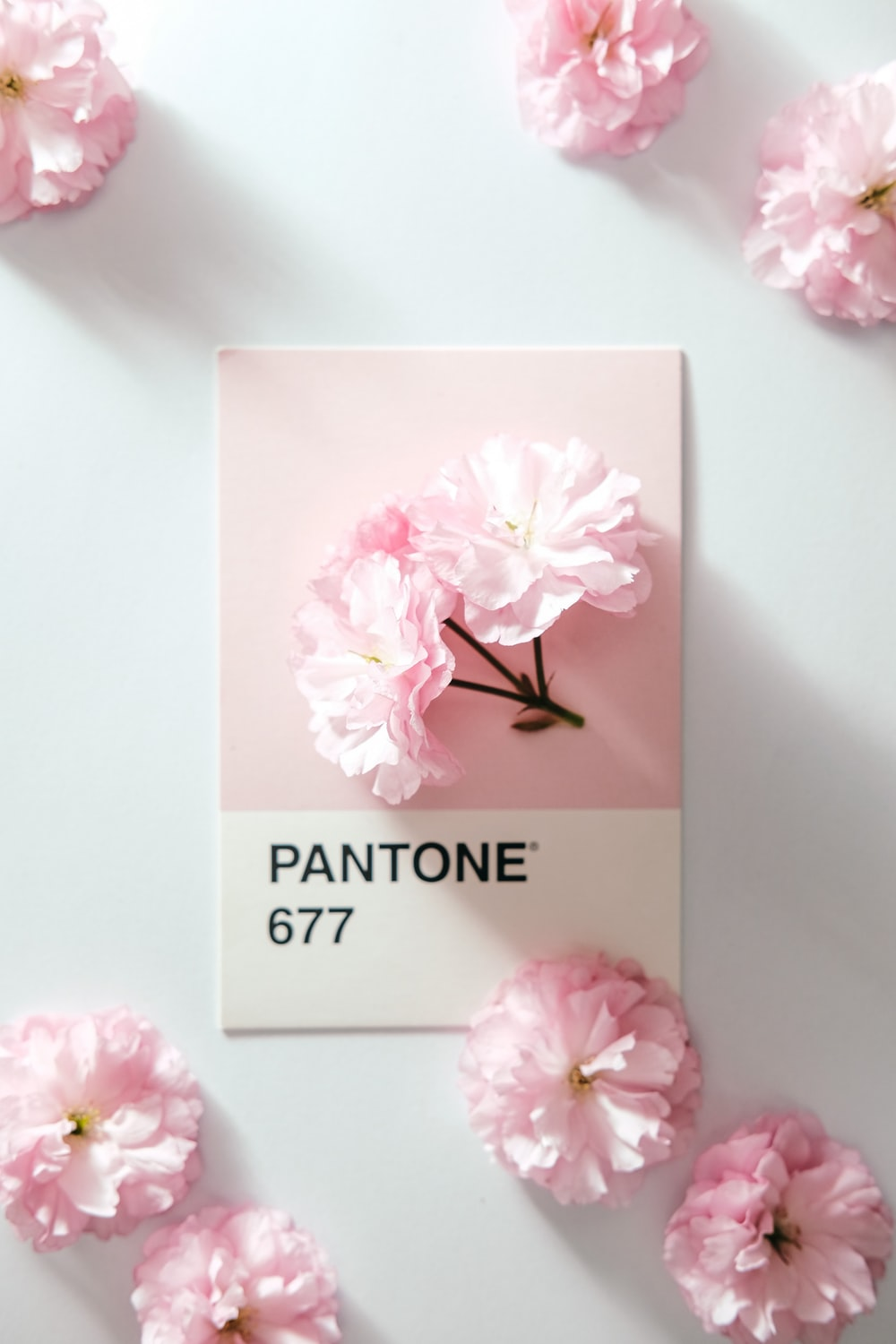 pink rose flower on white table