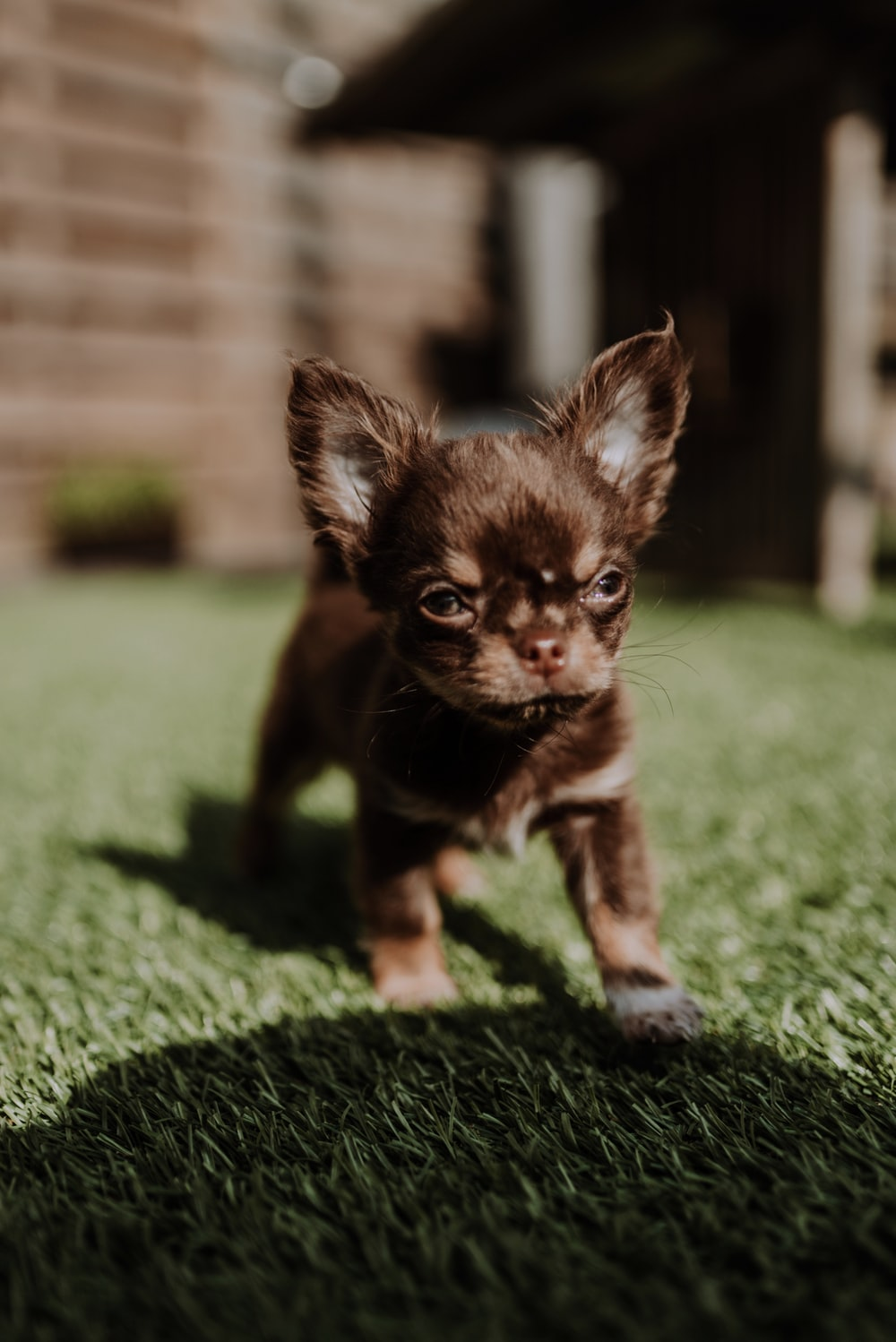 brown chihuahua puppy on green grass during daytime