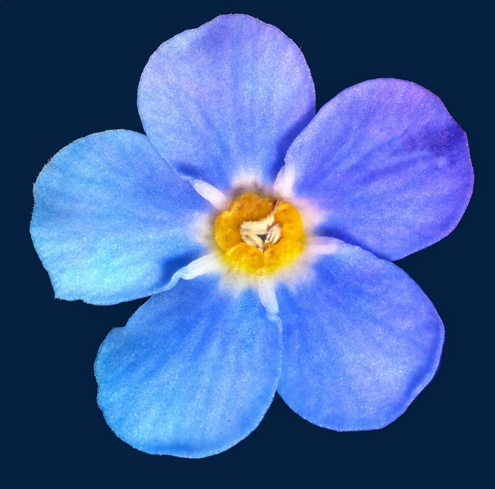 blue flower with black background