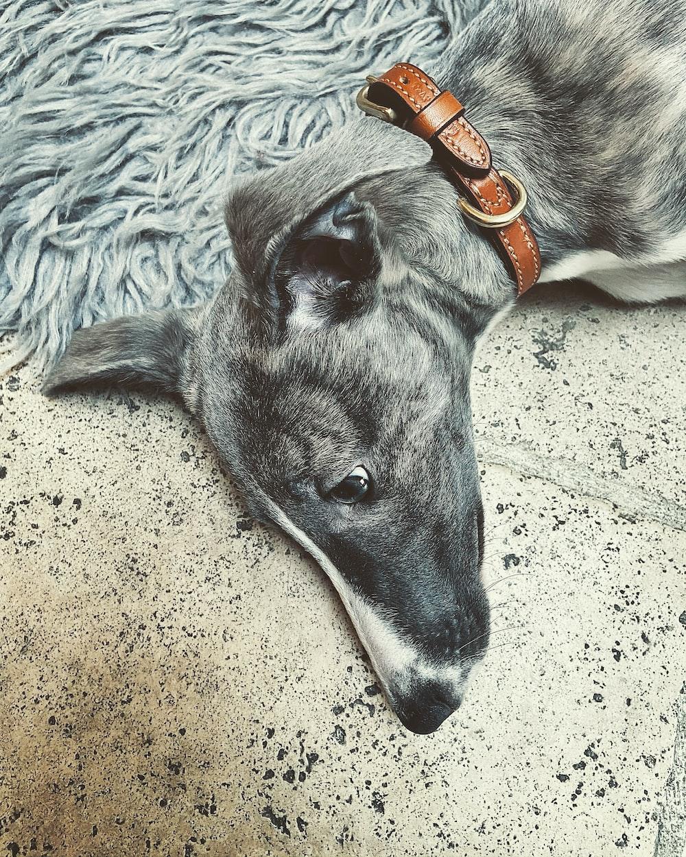 black and white short coated dog lying on white textile