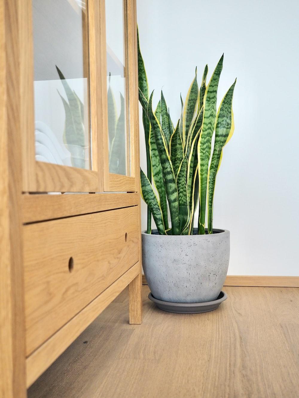 green snake plant on blue ceramic pot