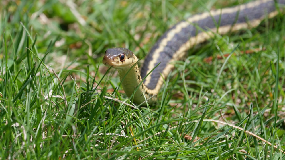 black and yellow snake on green grass during daytime