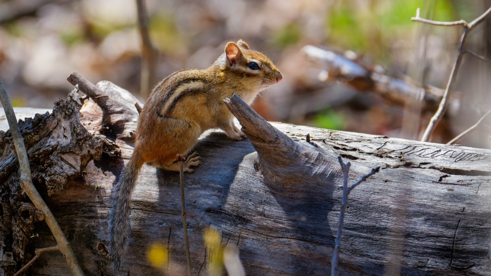 brown squirrel on brown tree trunk
