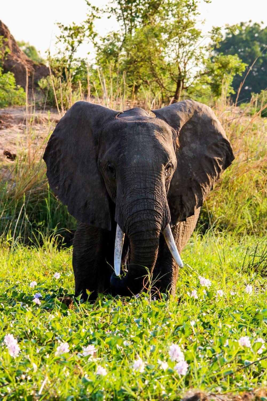elephant walking on green grass during daytime