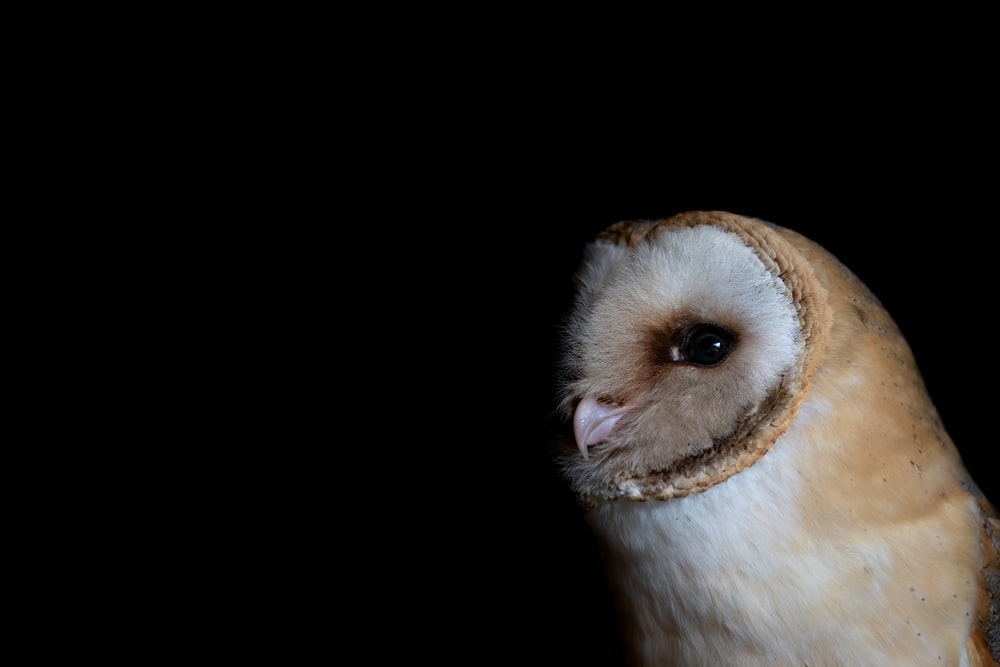 white and brown owl with black background