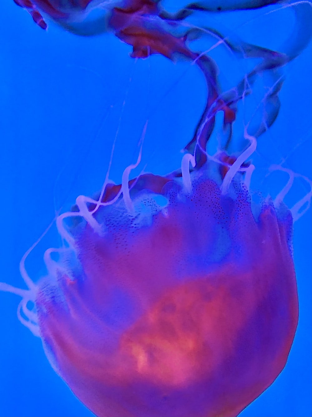 blue jellyfish in blue water