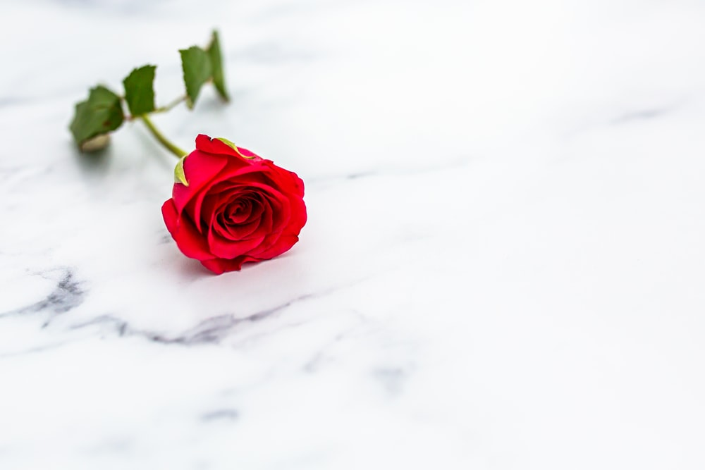red rose on white snow
