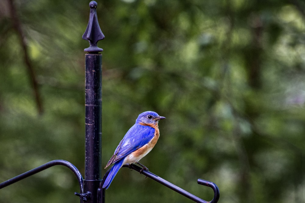 blue and brown bird on black metal fence during daytime