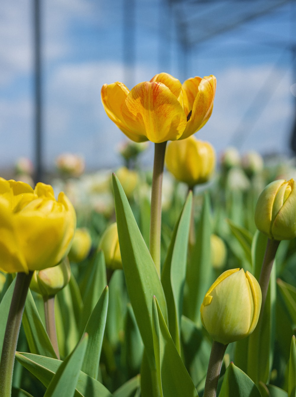 yellow tulips in bloom during daytime