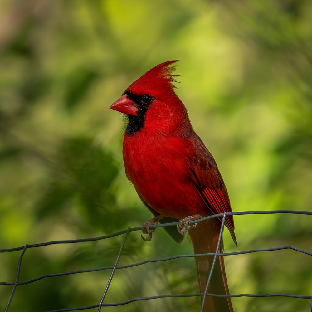 red cardinal perched on brown metal fence during daytime