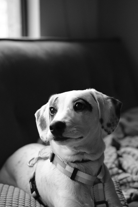 grayscale photo of short coated dog