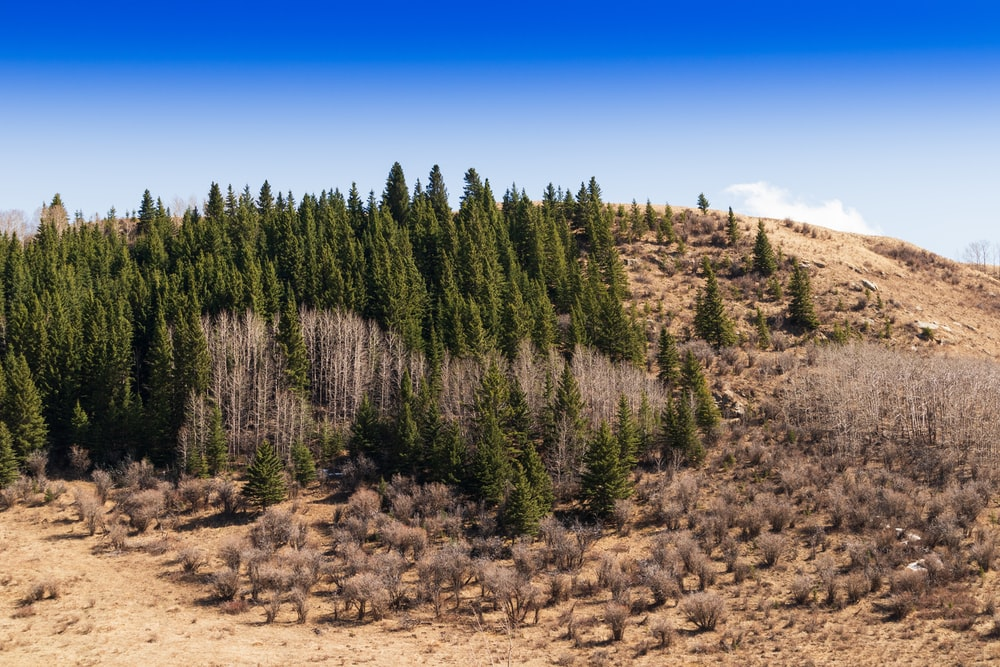 green pine trees on brown field under blue sky during daytime