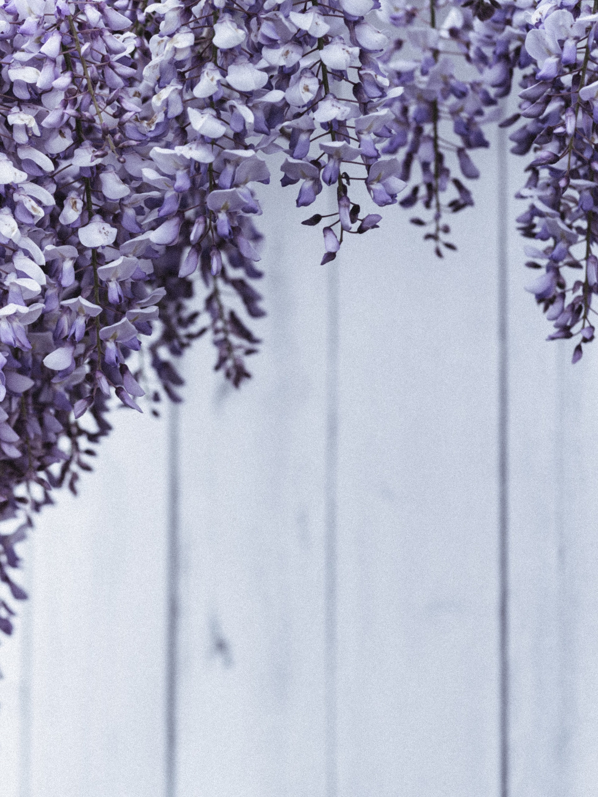 purple and white flowers on gray wooden fence