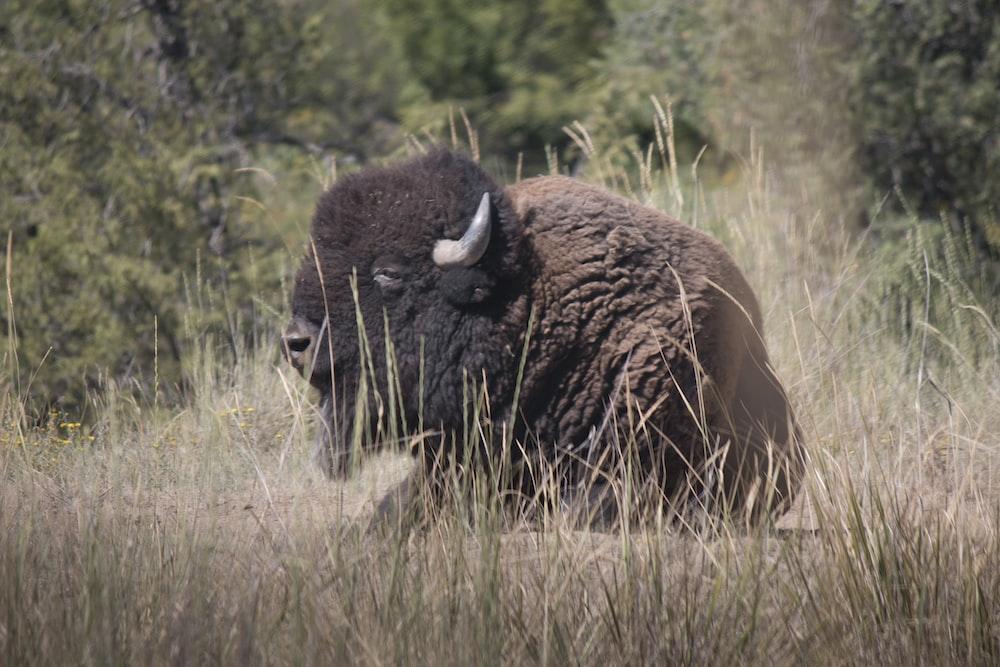 brown bison on green grass field during daytime