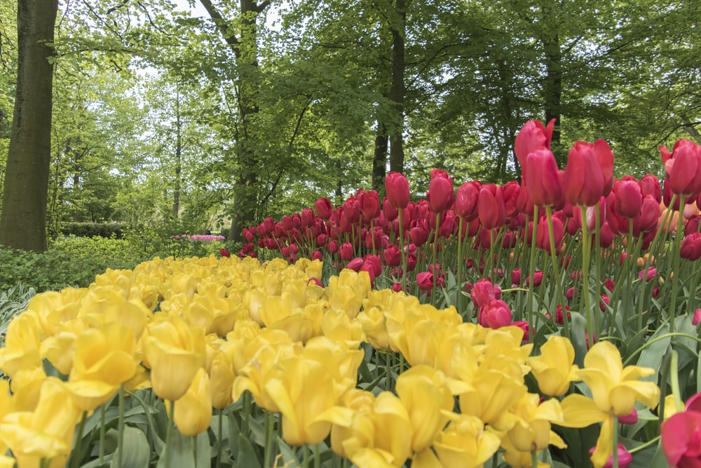 yellow and red tulips in bloom during daytime