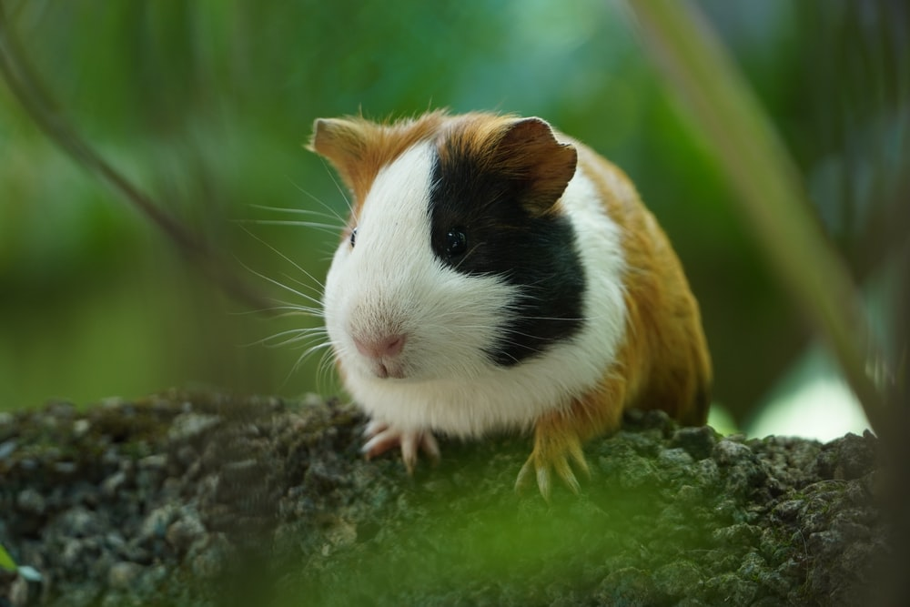 white and brown guinea pig on brown wood