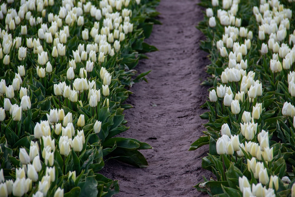 white tulips field during daytime