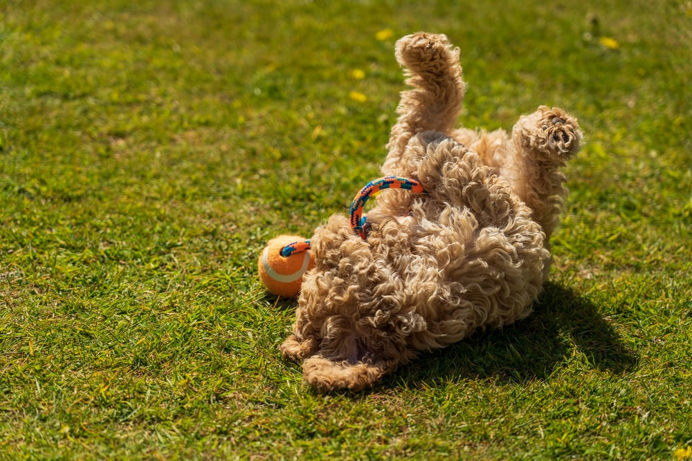 brown curly coated small dog with blue leash on green grass field during daytime
