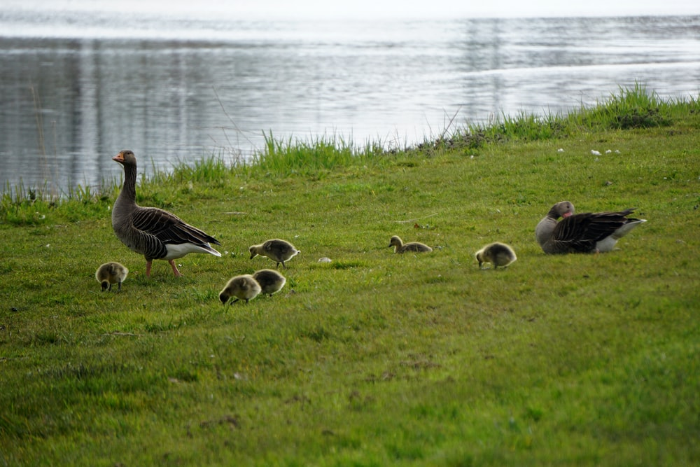 flock of geese on green grass field near body of water during daytime