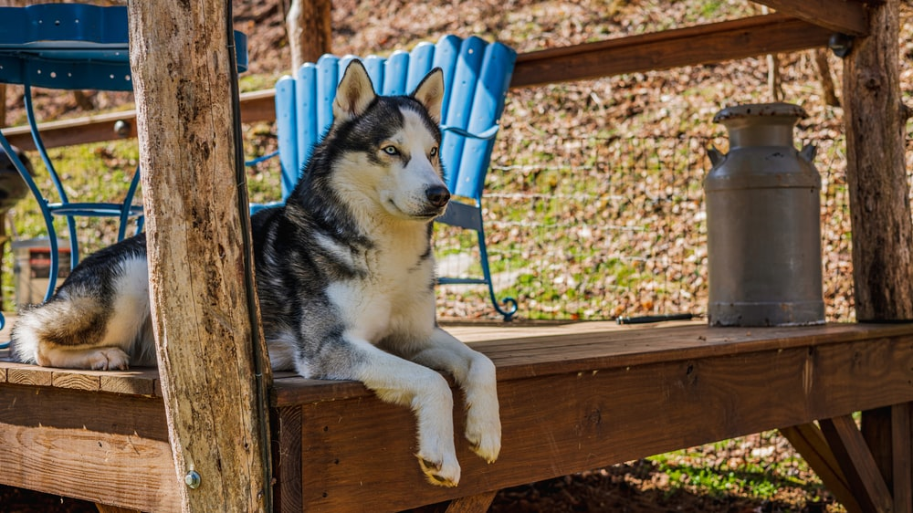 siberian husky puppy lying on brown wooden bench