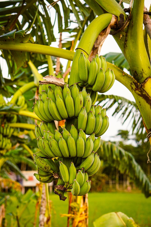 green banana fruit during daytime