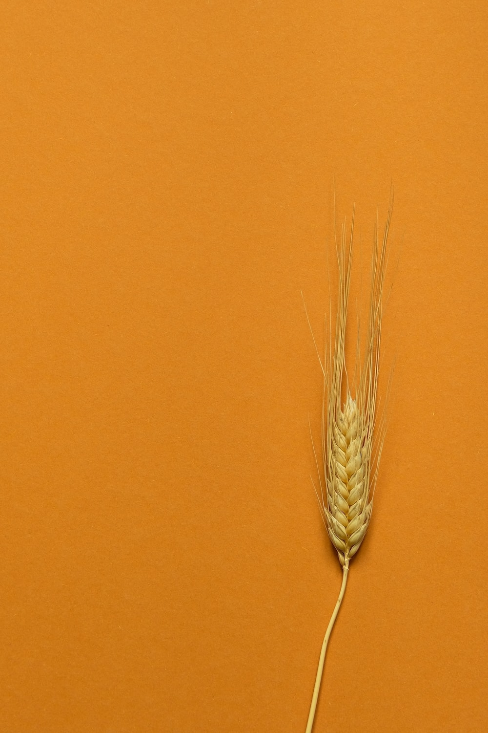 brown wheat in brown wall