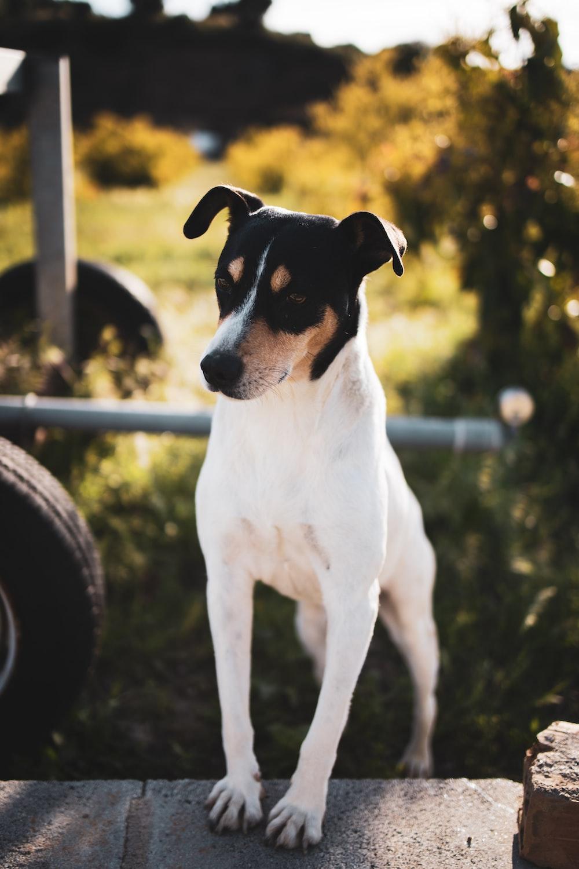 white and black short coated dog