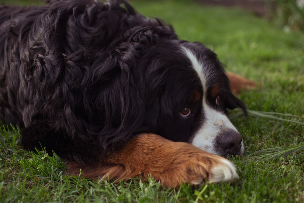 black and brown long coated dog lying on green grass during daytime