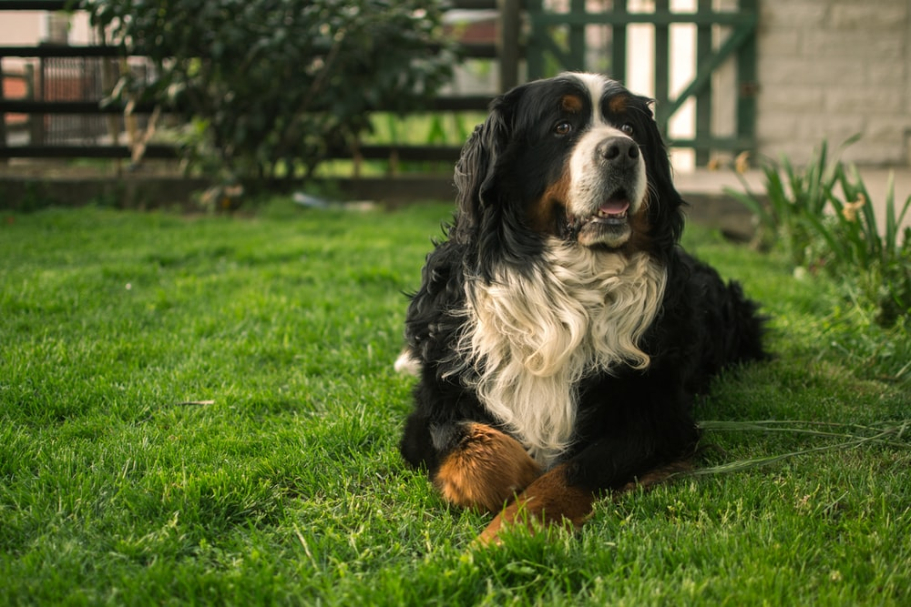 black white and brown bernese mountain dog lying on green grass field during daytime