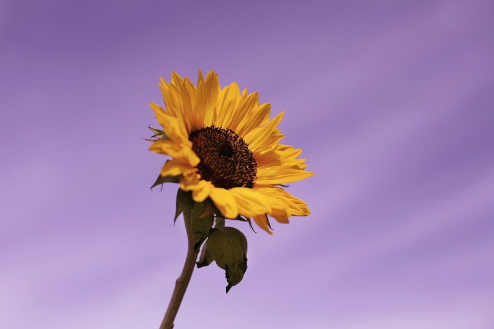 yellow sunflower in bloom during daytime