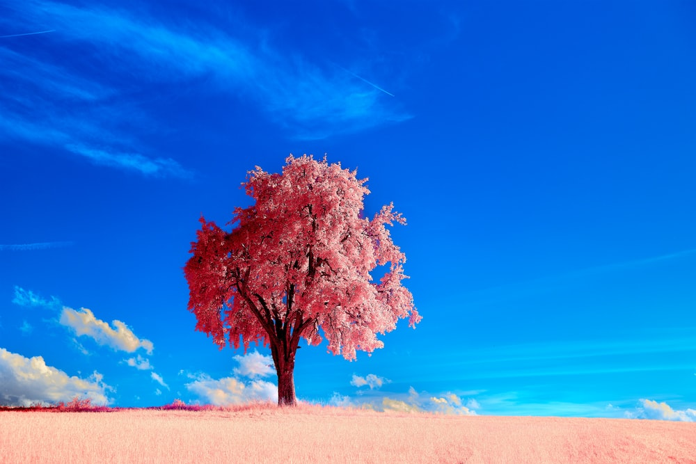 leafless tree on brown field under blue sky during daytime