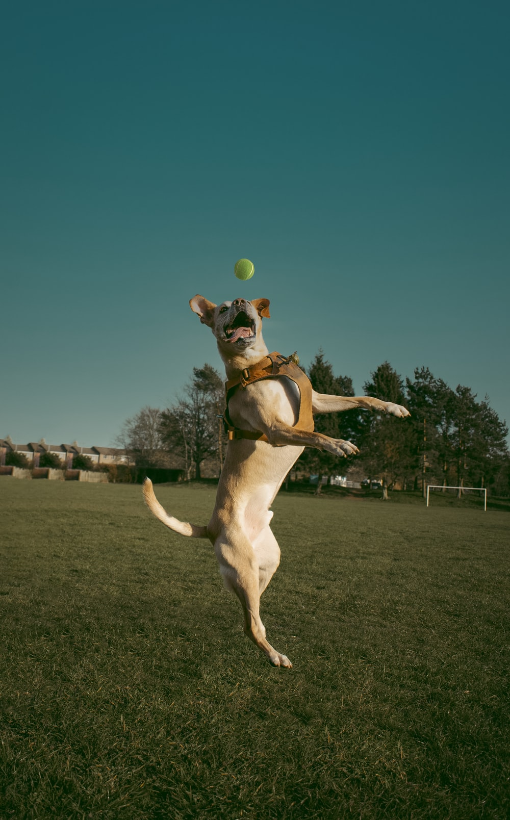 brown and white short coated dog playing tennis during daytime