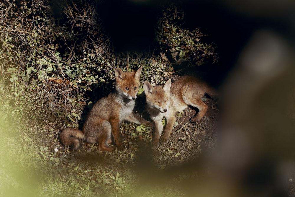 brown fox on green grass during nighttime