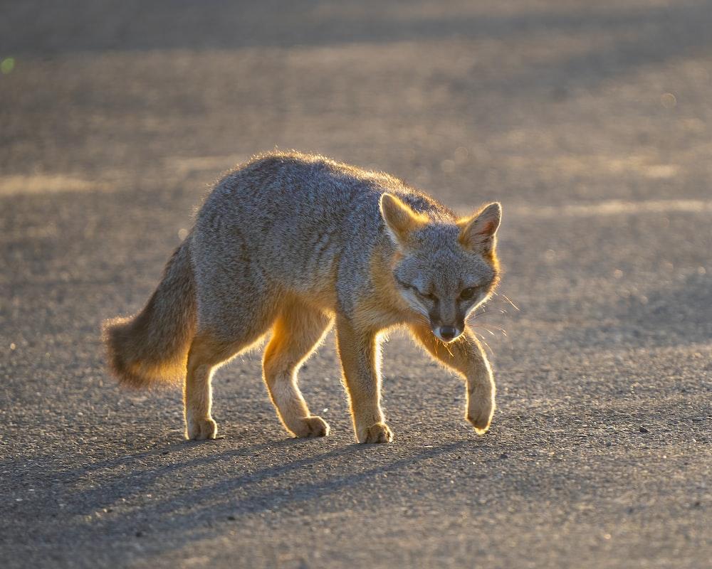 brown fox walking on gray sand during daytime