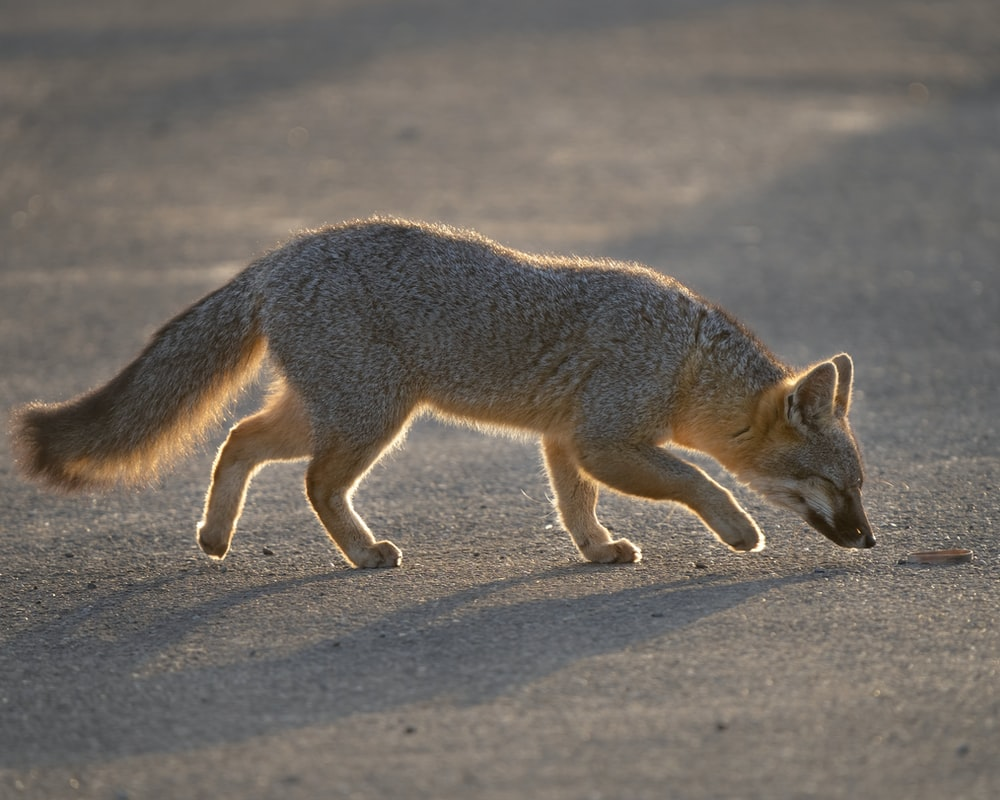 brown fox on gray sand during daytime