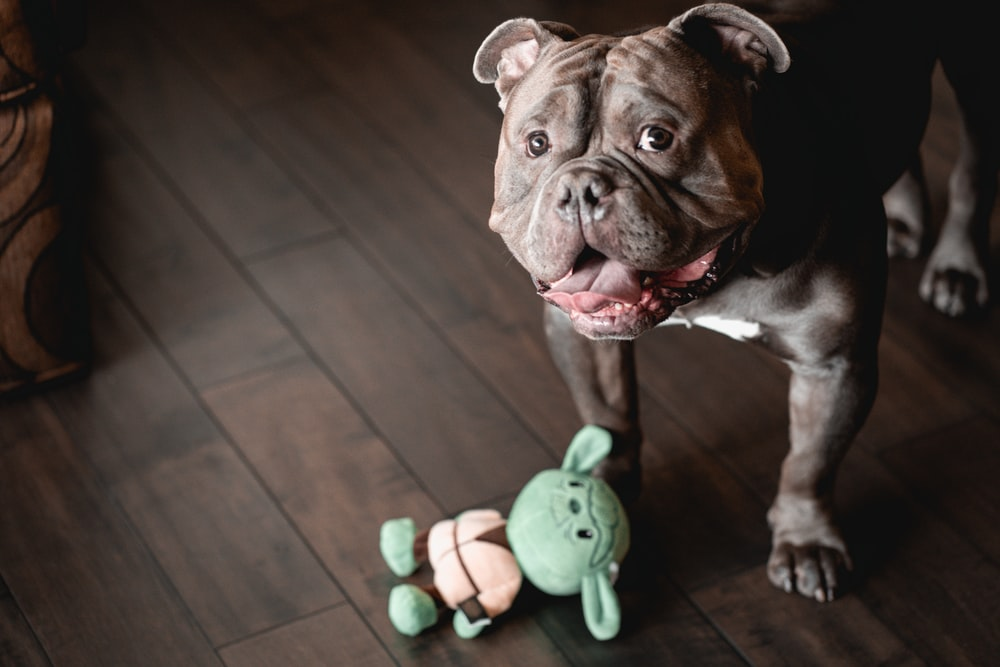 brown and white short coated dog with green plastic toy on mouth