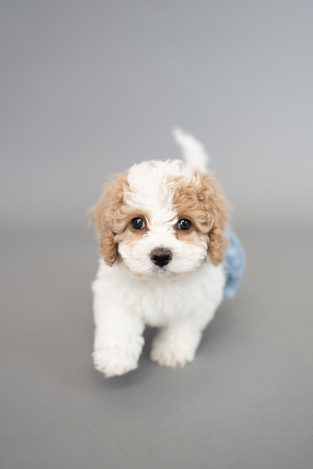 white and brown long coated puppy