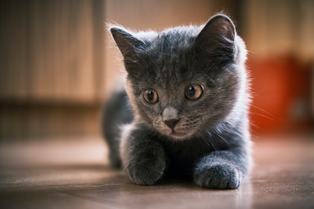 russian blue cat on brown wooden table
