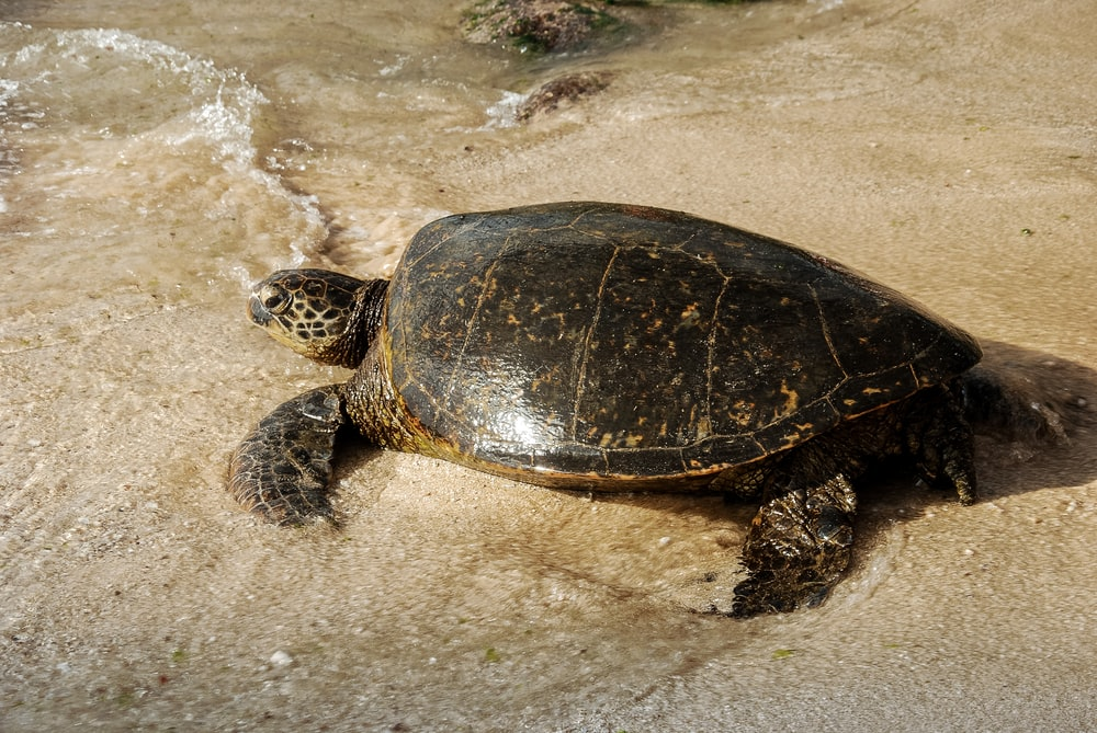 black and brown turtle on white sand
