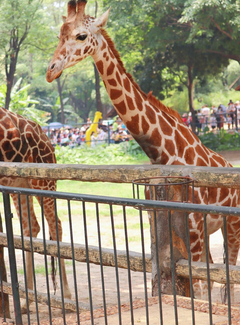 giraffe in cage during daytime