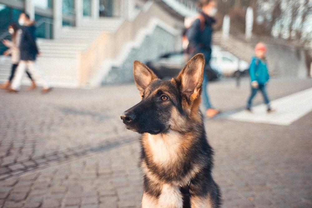 black and tan german shepherd sitting on the street during daytime