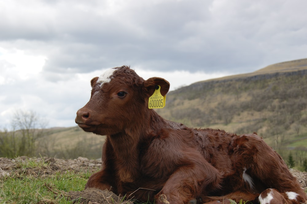 brown cow lying on green grass during daytime