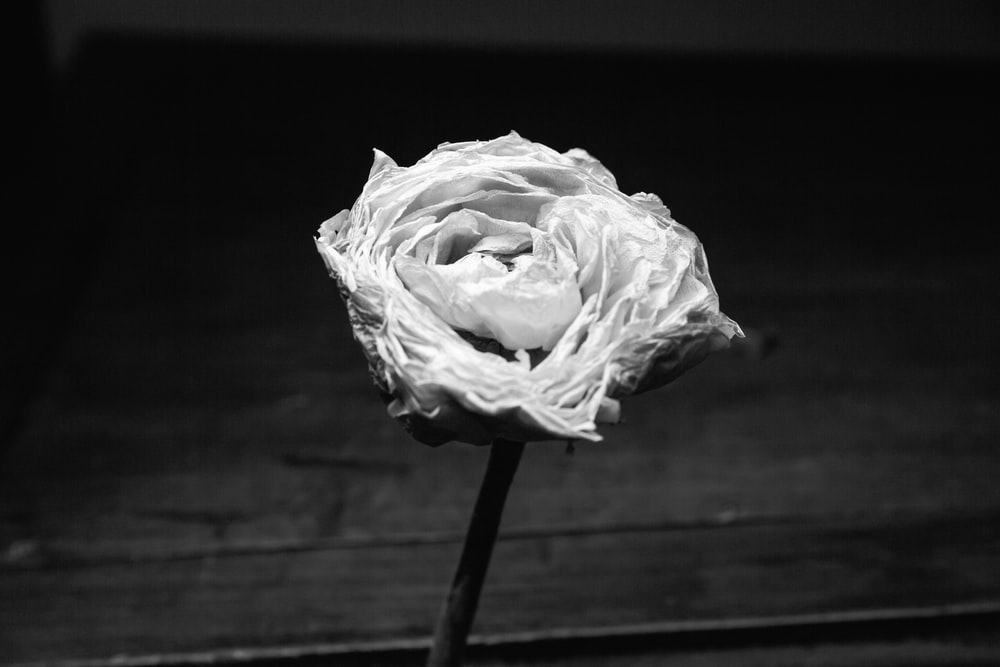 white rose on wooden surface