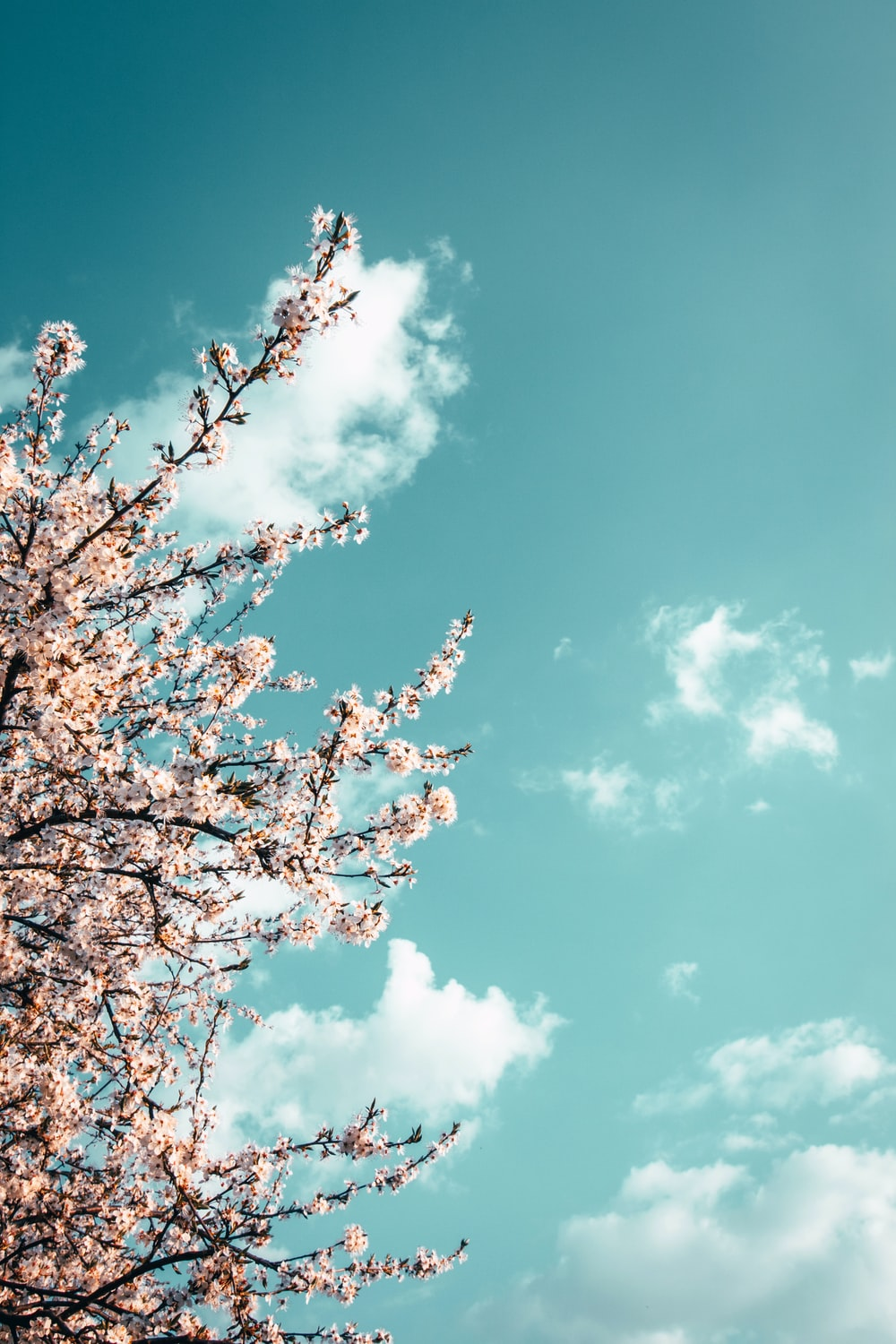 pink cherry blossom tree under blue sky and white clouds during daytime