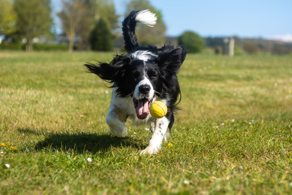 black and white border collie puppy playing with green ball on green grass field during daytime