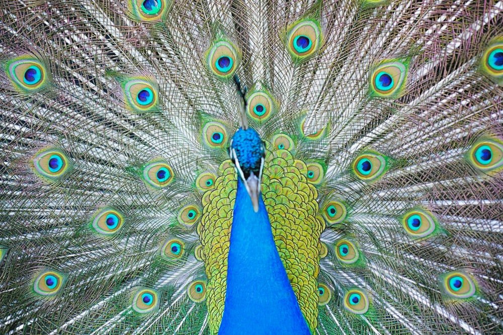 peacock in close up photography